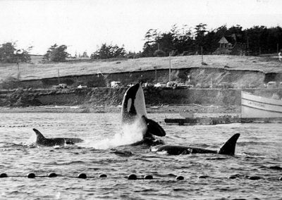 Killer whales are herded into nets